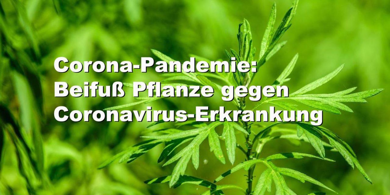 Beifuß: Corona-Pandemie: Beifuß gegen Coronavirus-Erkrankung